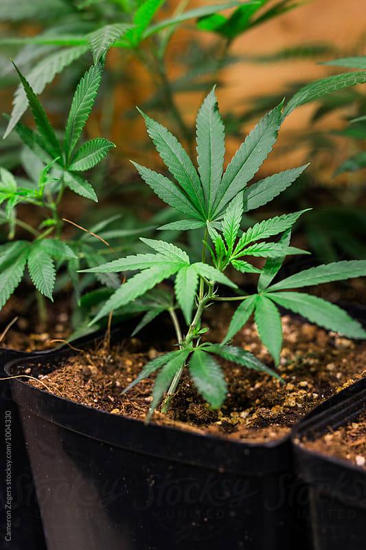 potted marijuana plants at pot farm by Cameron Zegers for Stocksy United