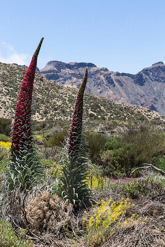 Specimen of Endemic Red Tenerife Bugloss by Marilar Irastorza for Stocksy United