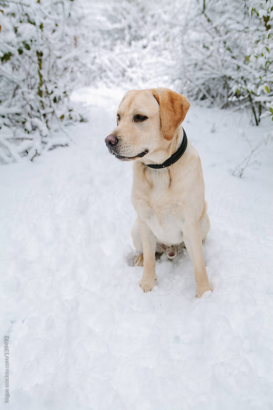 Labrador dog in winter snow. by kkgas for Stocksy United