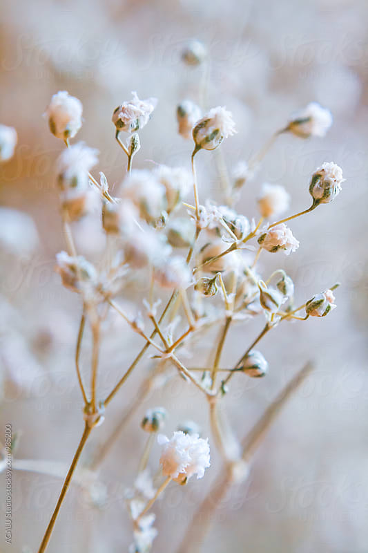 Small dried flowers by ACALU Studio for Stocksy United