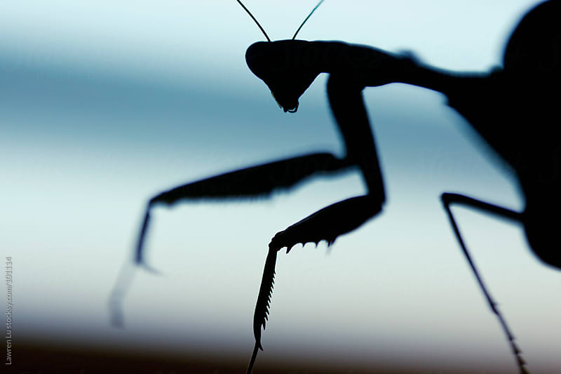 Mantis silhouette in the dark by Lawren Lu for Stocksy United