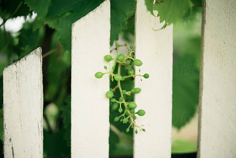 Green grapes by Adrian Cotiga for Stocksy United