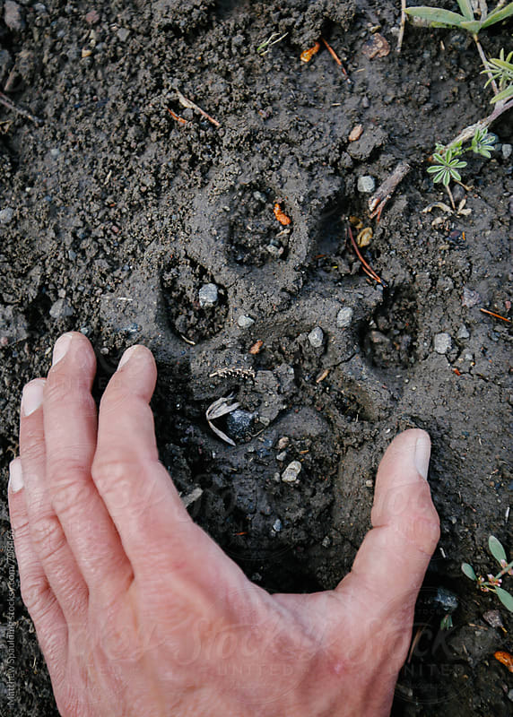 Mountain lion  paw print on animal trail by Matthew Spaulding for Stocksy United