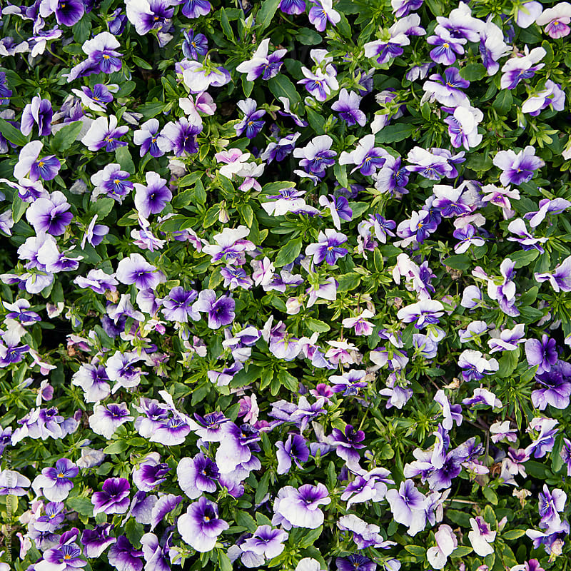 Nursery: Purple Pansy Background by Sean Locke for Stocksy United