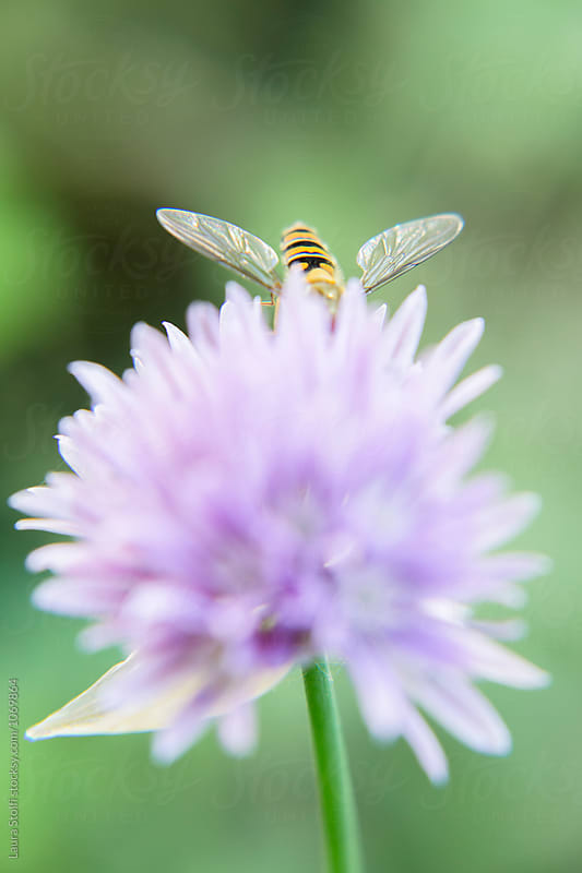 Bee with half body deep inside chives flower in bloom by Laura Stolfi for Stocksy United