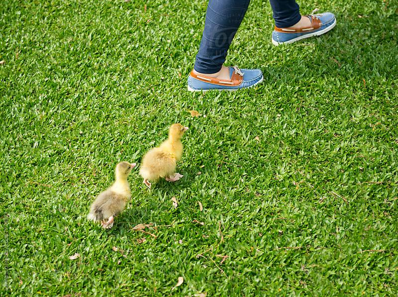 Two little goslings follow a woman's steps by Lawren Lu for Stocksy United