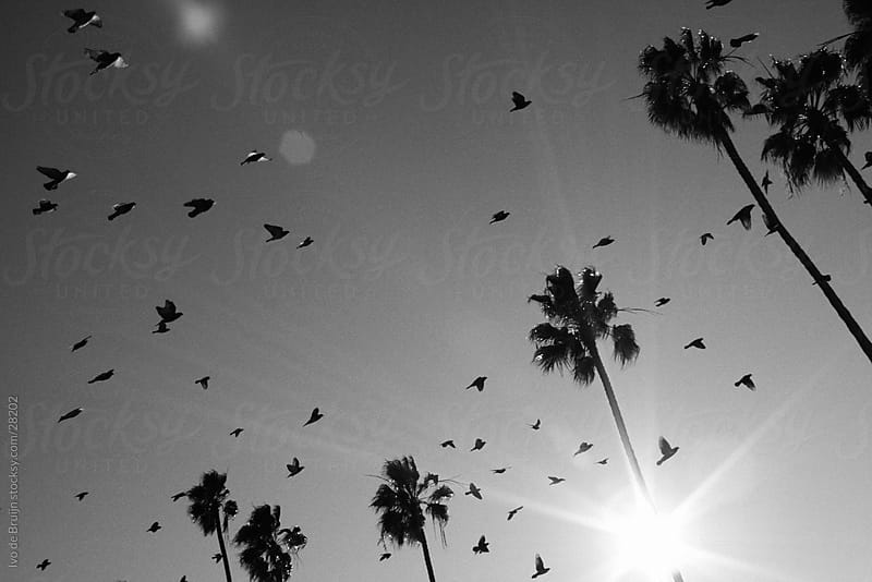 Flock of birds flying around palmtrees in the sun by Ivo de Bruijn for Stocksy United