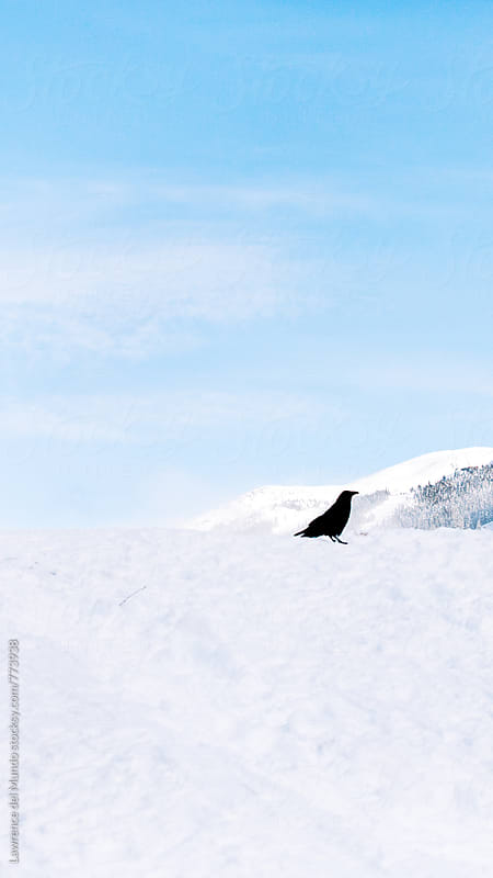 Crow on snow on a beautiful winter season day by Lawrence del Mundo for Stocksy United
