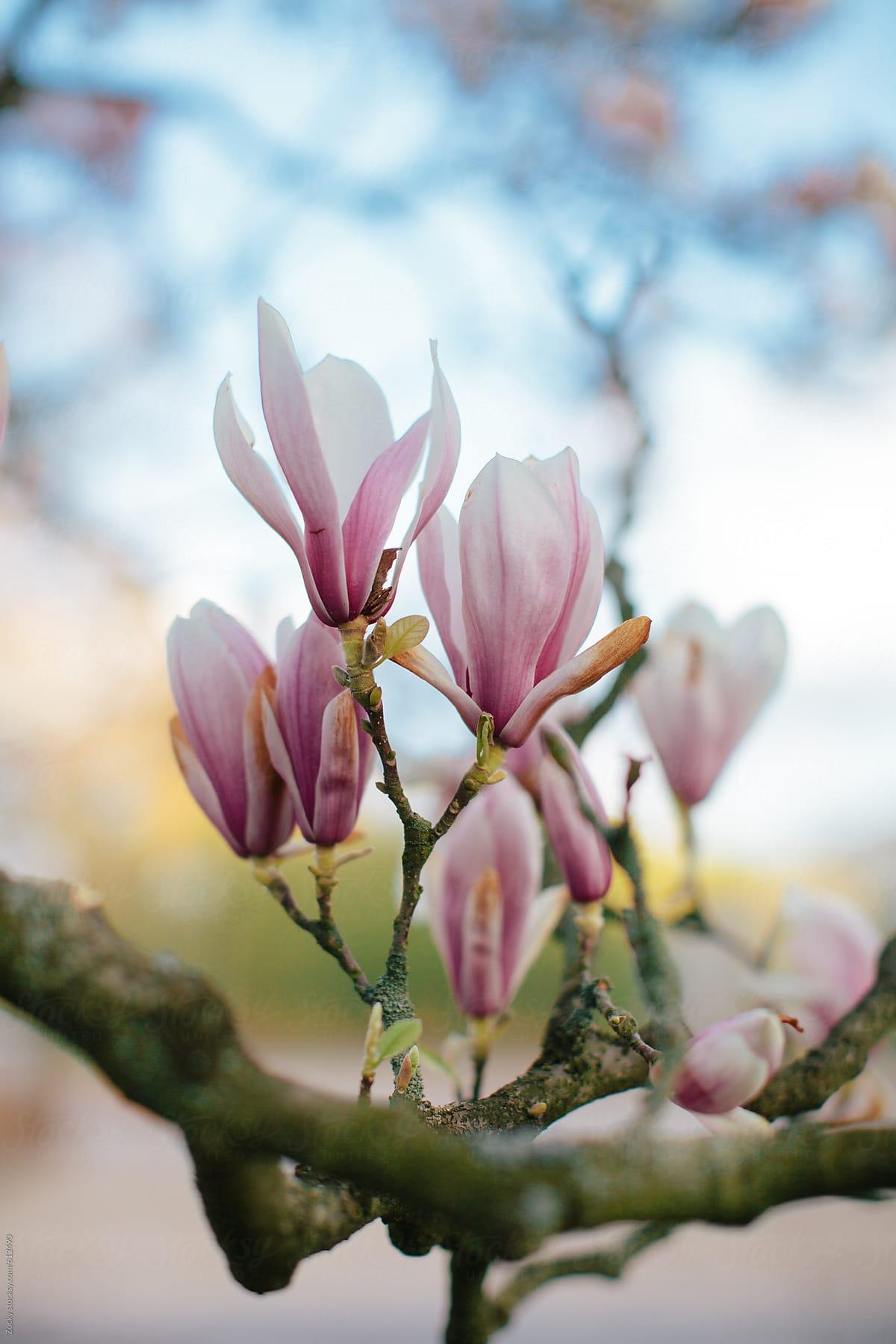 Tulip Tree Flowers Stocksy United