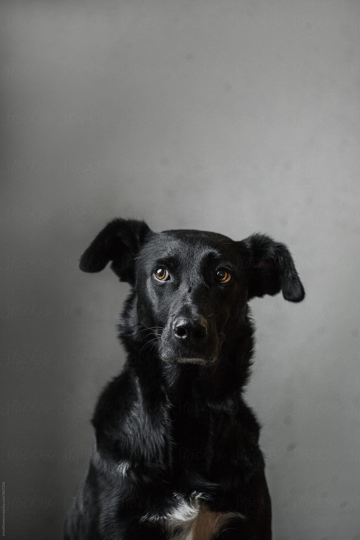 Classical portrait of a black dog with white chest