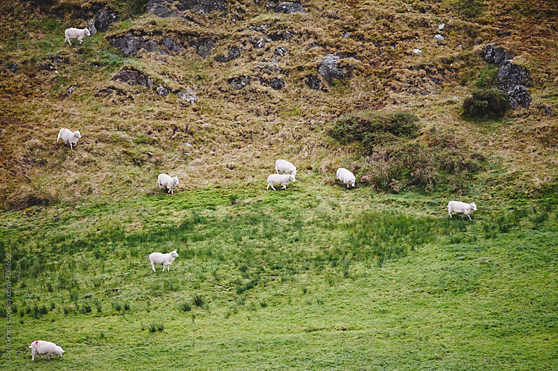 Sheep running down the mountainside. Wales, UK by Liam Grant for Stocksy United