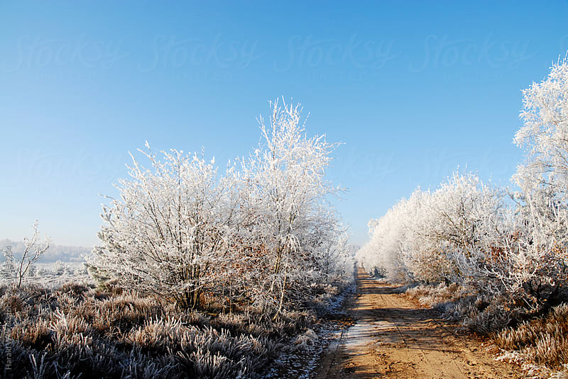 Heather landscape in winter by Harald Walker for Stocksy United