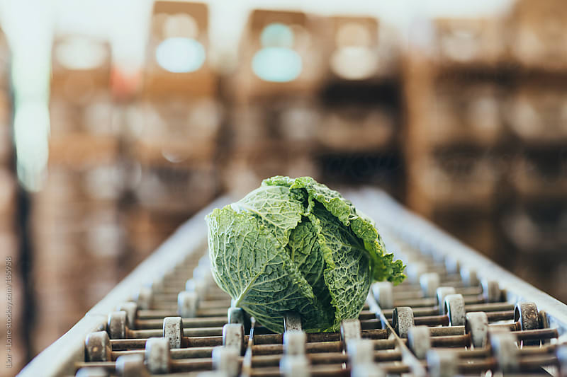 Organic savoy cabbage on old conveyor by Lior + Lone for Stocksy United