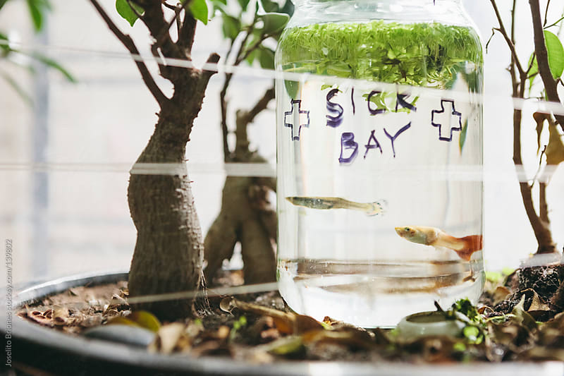 Sick Fancy Guppy and other Tropical Fish Isolated in Quarantine in Bottle with Duckweed by Window by Joselito Briones for Stocksy United