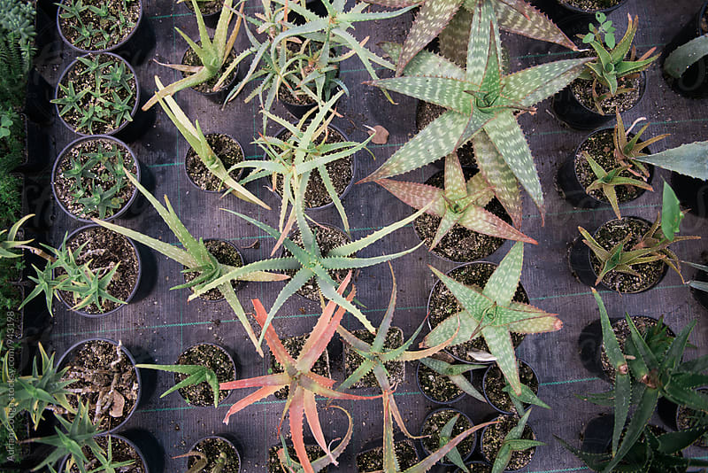 Rows of succulent plants in the greenhouse by Adrian Cotiga for Stocksy United