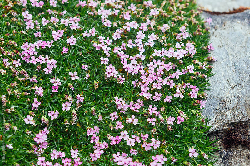 A colorful carpet of moss campion flowers on a stone by Mihael Blikshteyn for Stocksy United