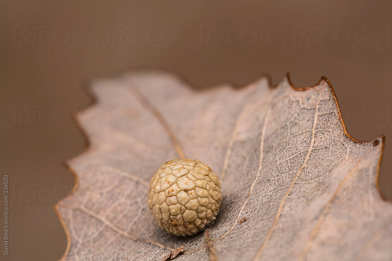 Spherical shaped insect gall on the underside of a Chestnut Oak  by David Smart for Stocksy United