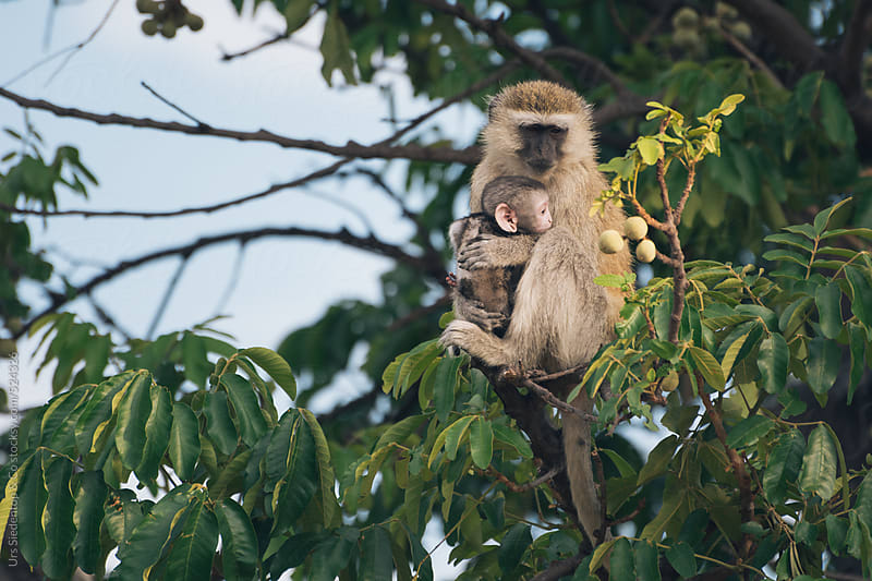 Mother with baby monkey by Urs Siedentop & Co for Stocksy United