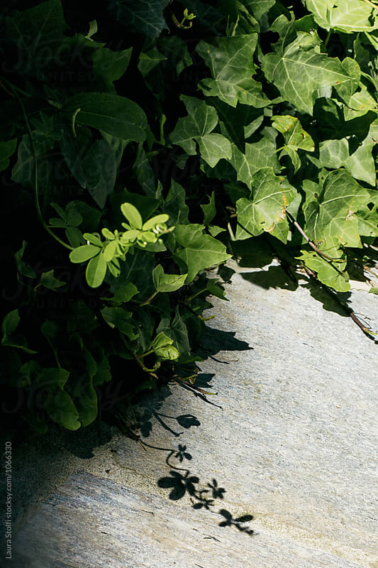Akebia quinata tendril and its shadow in sunny garden, close up by Laura Stolfi for Stocksy United
