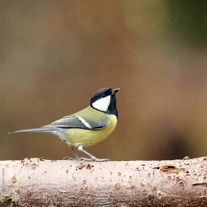 Great tit looking up by Marcel for Stocksy United