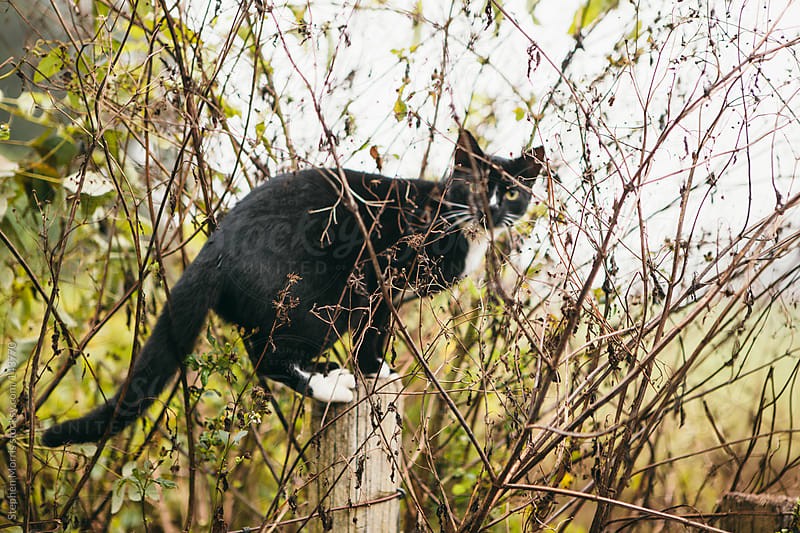 Black Cat in a Bush by Stephen Morris for Stocksy United