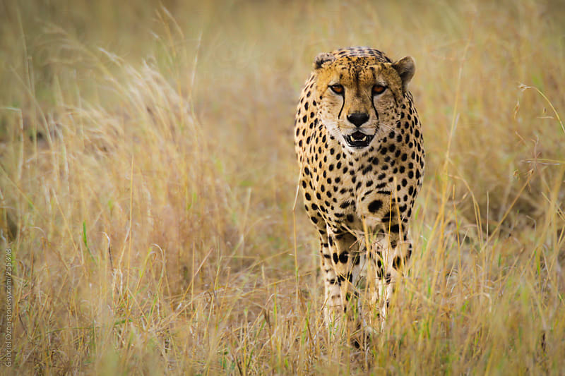 Cheetah by Gabriel Ozon for Stocksy United