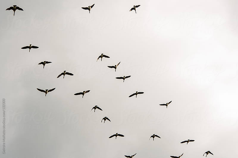 flock of geese flying south against a cloudy sky by Deirdre Malfatto for Stocksy United