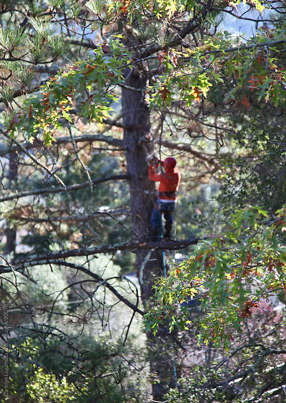 Tree trimmer high up in a tree cutting branches by Carolyn Lagattuta for Stocksy United