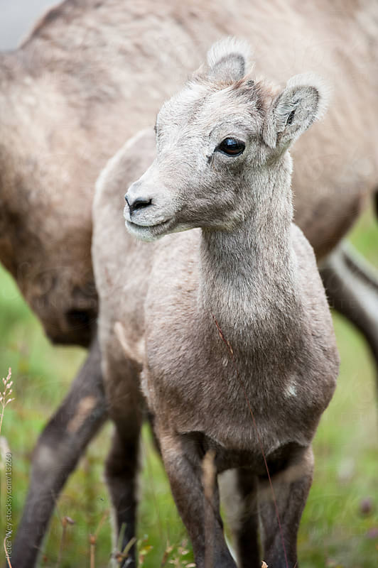 Wildlife: cute young bighorn sheep (lat. Ovis canadensis) in Jasper National Park by Peter Wey for Stocksy United