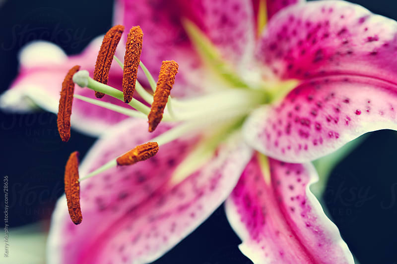 Macro of vibrant pink lily flower by Kerry Murphy for Stocksy United