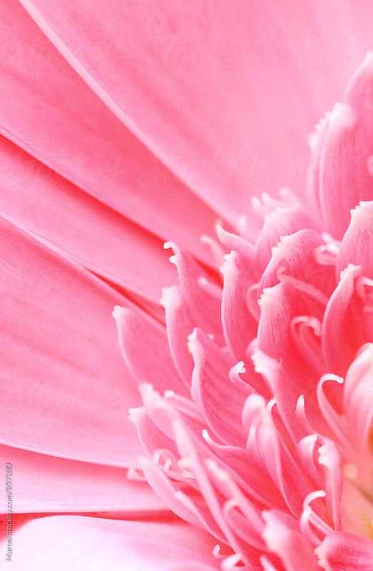 Pink gerbera daisy macro by Marcel for Stocksy United