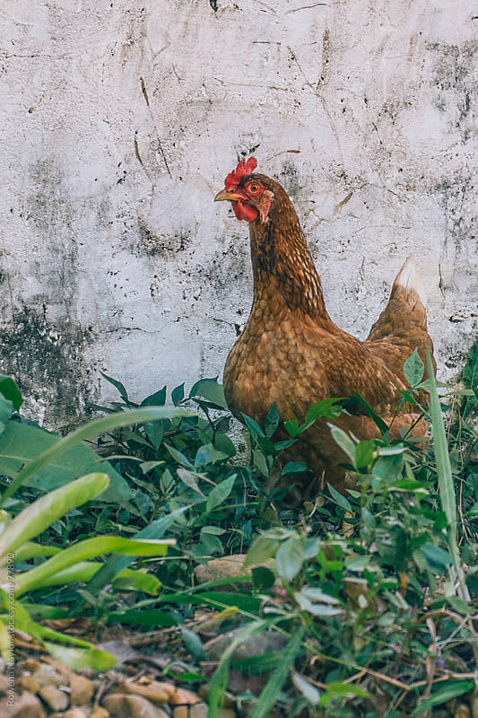 Free Range Chicken by Rowena Naylor for Stocksy United