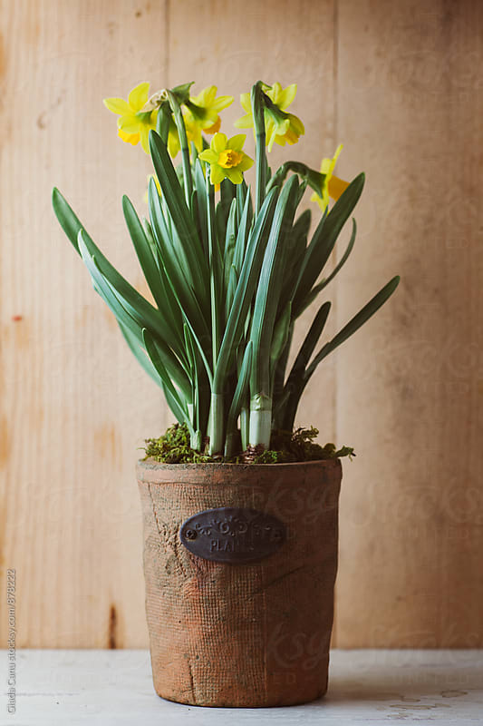 Narcissus flower on wooden background by Giada Canu for Stocksy United
