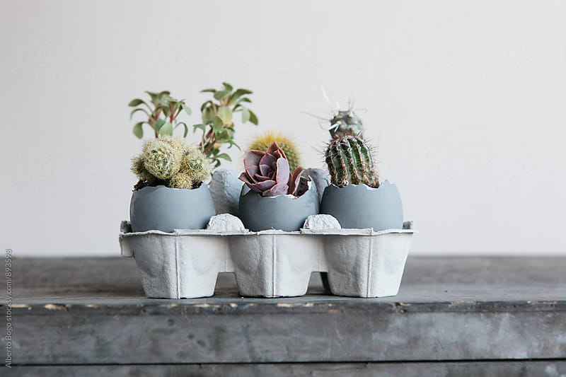 Different cacti growing in cracked eggs by Alberto Bogo for Stocksy United