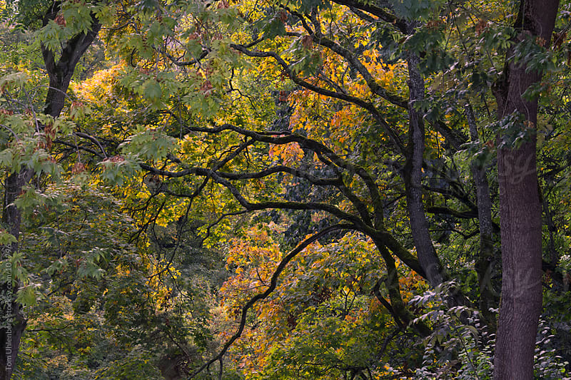 Tree Branches and October Foliage by Tom Uhlenberg for Stocksy United