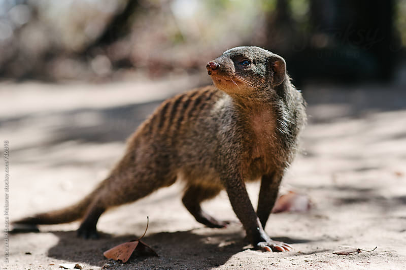 Banded Mongoose by Bruce Meissner for Stocksy United