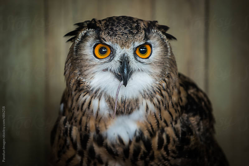 Eurasian eagle owl  by Pansfun Images for Stocksy United