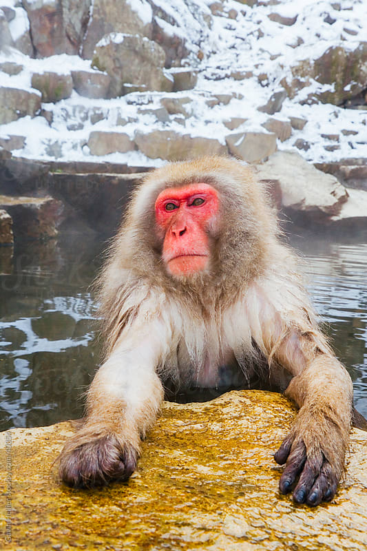 Young Japanese macaque (Macaca fuscata) / Snow monkey soaking in hot thermal spring pool, Joshin-etsu National Park, Honshu, Japan by Gavin Hellier for Stocksy United