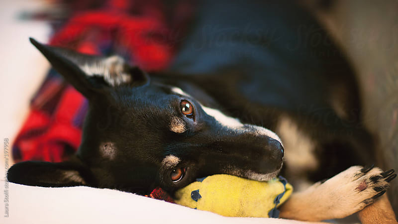 Little dog laying on sofa with her head on her ball shaped toy by Laura Stolfi for Stocksy United