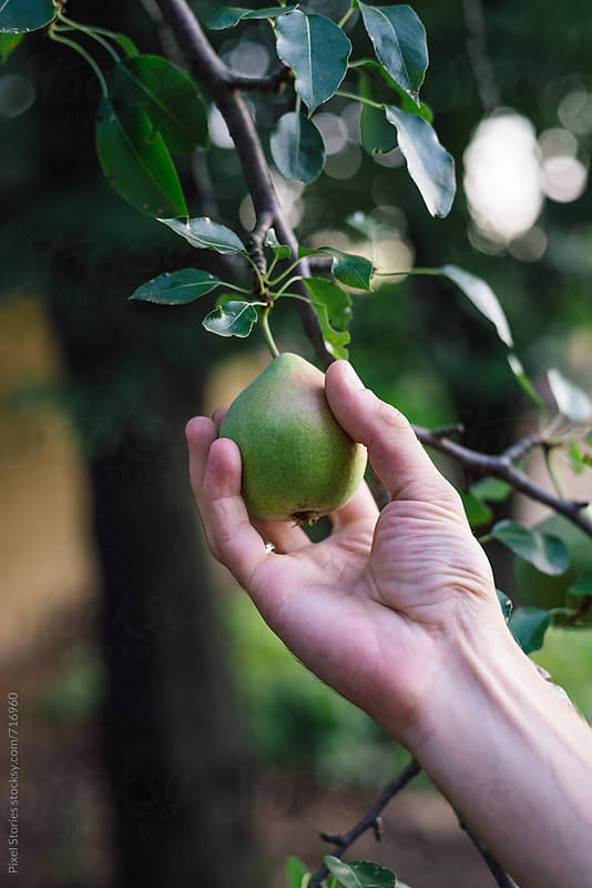 Male hands picking pear by Pixel Stories for Stocksy United