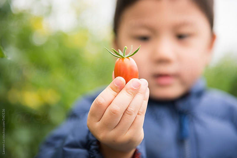 Hand of a Boy Holding Fresh Red Tomato by Lawren Lu for Stocksy United