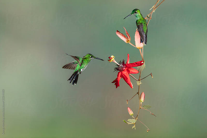 Two hummingbird fly to the flower to eat nectar by Song Heming for Stocksy United