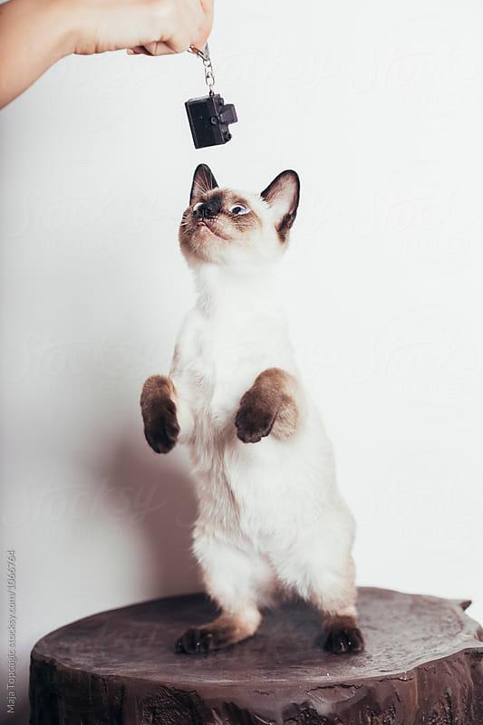 Beautiful siamese kitten by Maja Topcagic for Stocksy United