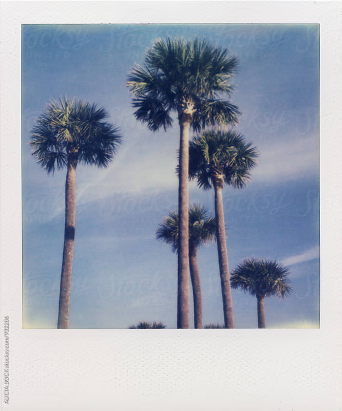 Palm Trees Against A Blue Sky On Expired Polaroid Film by ALICIA BOCK for Stocksy United