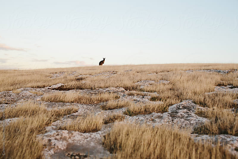 kangaroo in distance by Cameron Zegers for Stocksy United