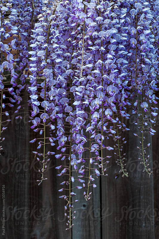 Wisteria hanging down a garden fence by Paul Phillips for Stocksy United