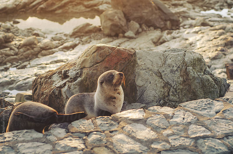 Seal pup on rocky beach by Dominique Chapman for Stocksy United
