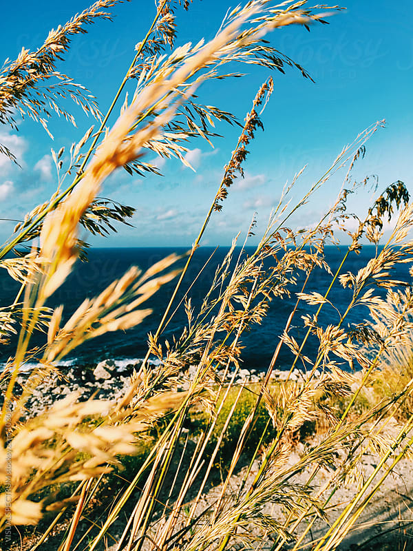 Golden Grass By The Ocean Closeup by Julien L. Balmer for Stocksy United