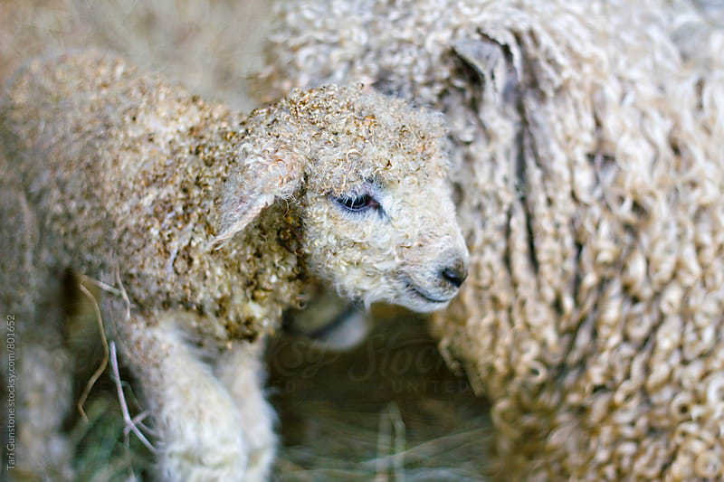 Newborn lamb with mother by Tari Gunstone for Stocksy United