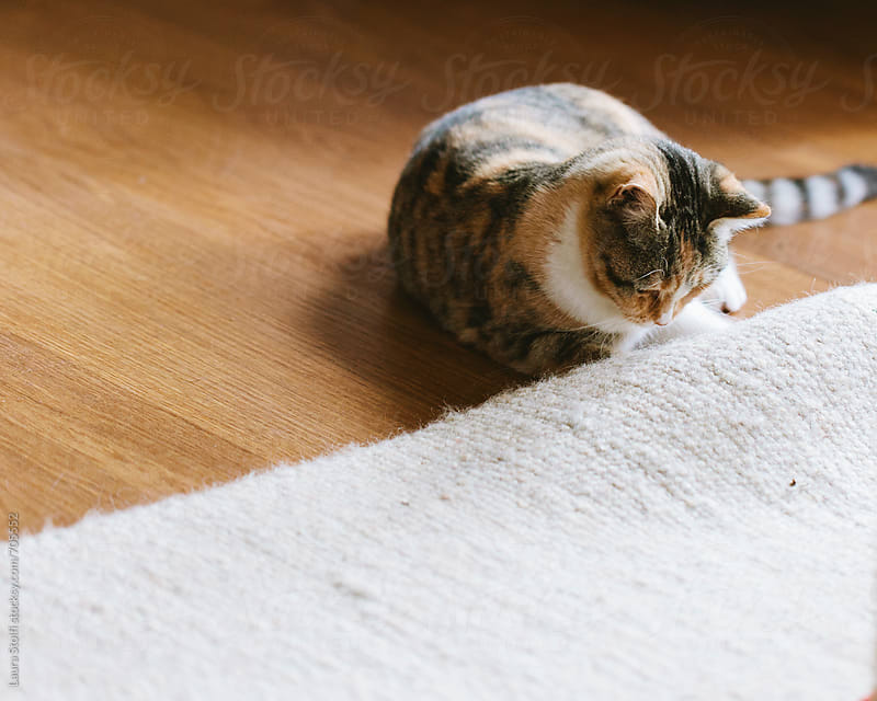 Cat trying to cathc something laying under a carpet by Laura Stolfi for Stocksy United